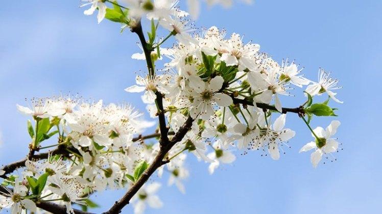 Prunus cerasifera tree branch flowers, close up